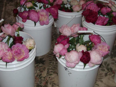 wedding peonies in a bucket