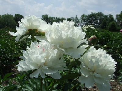 White Peony Evening Star