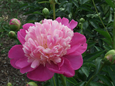 Bright Pink Peony with Light Pink Center