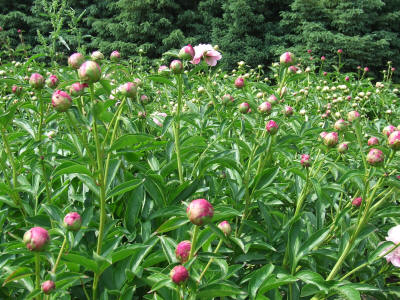 Pink Peonies in Bud Stage