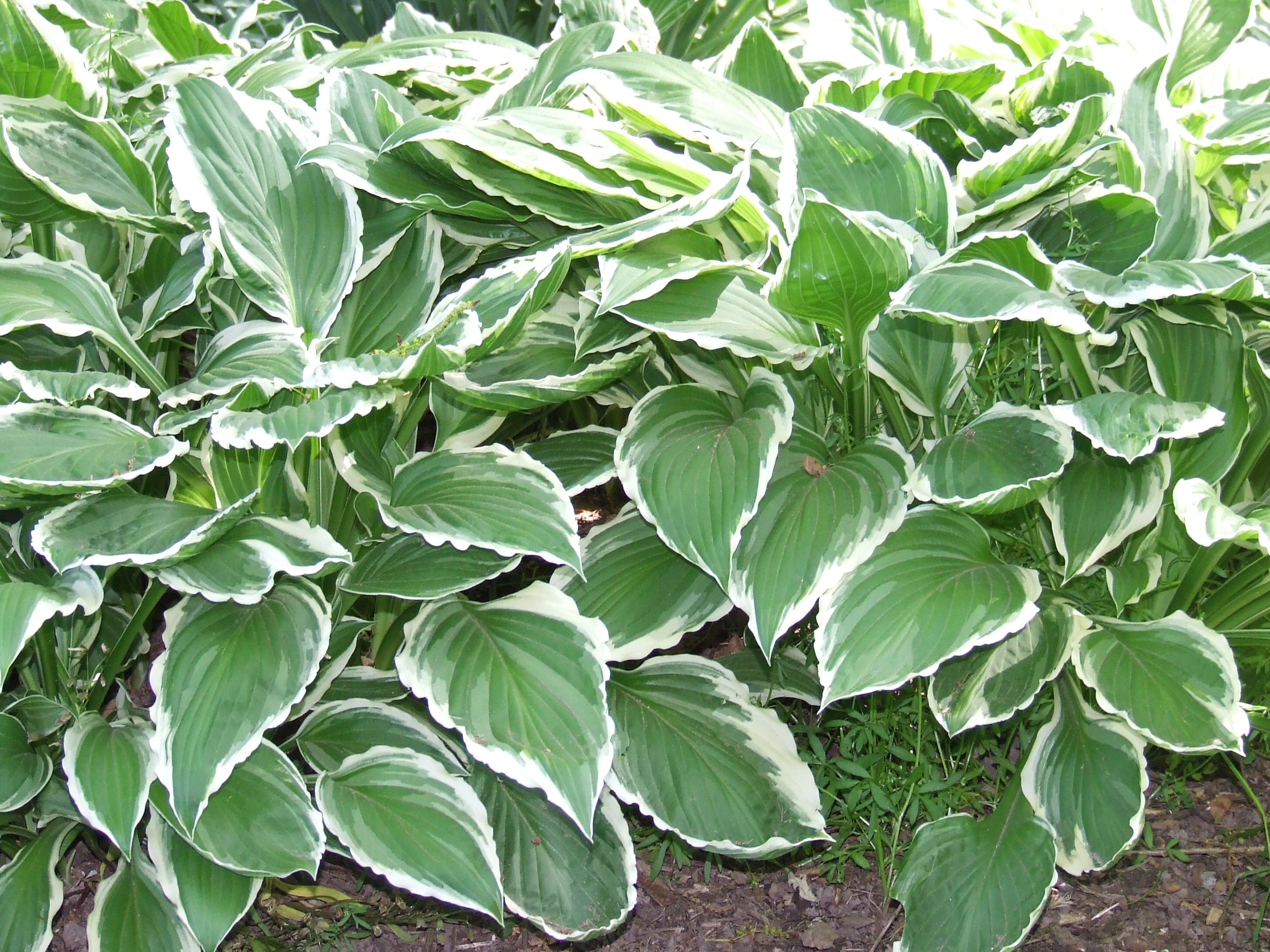 Hosta Sale At Bridgewater Gardens Great Hosta Plants Including