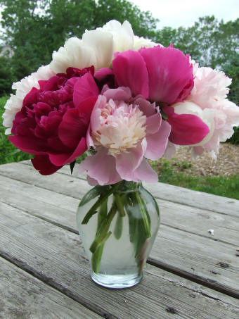 peony bloom photos june 2008 red white and pink white cut peony flowers from bridgewater gardens - How To Cut Peonies