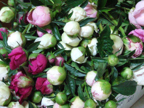 cut peonies available for delivery to all parts of the usa in june 2014 - How To Cut Peonies