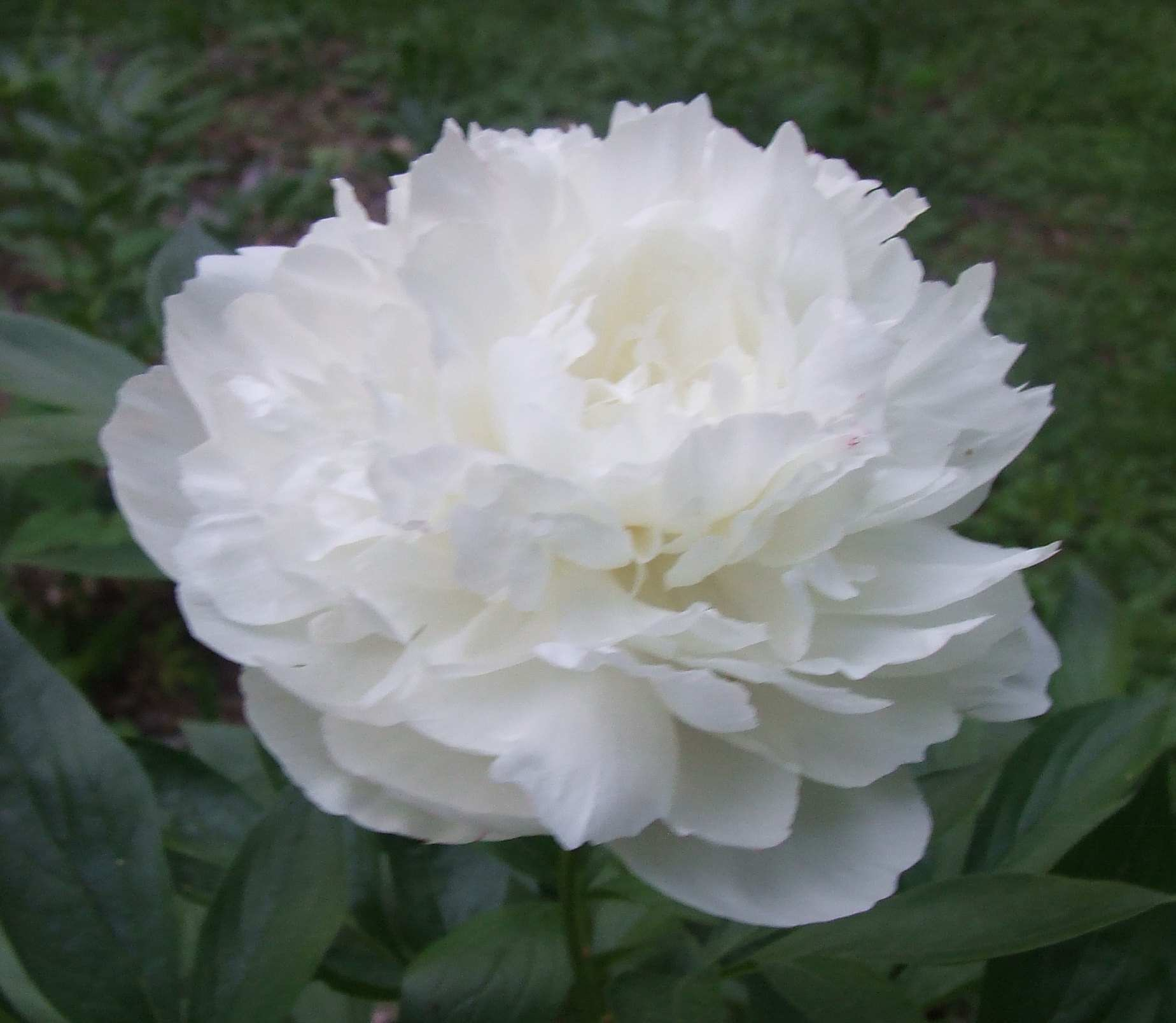 White Wedding Flowers Names And Pictures : Peony flower bloom photos from june