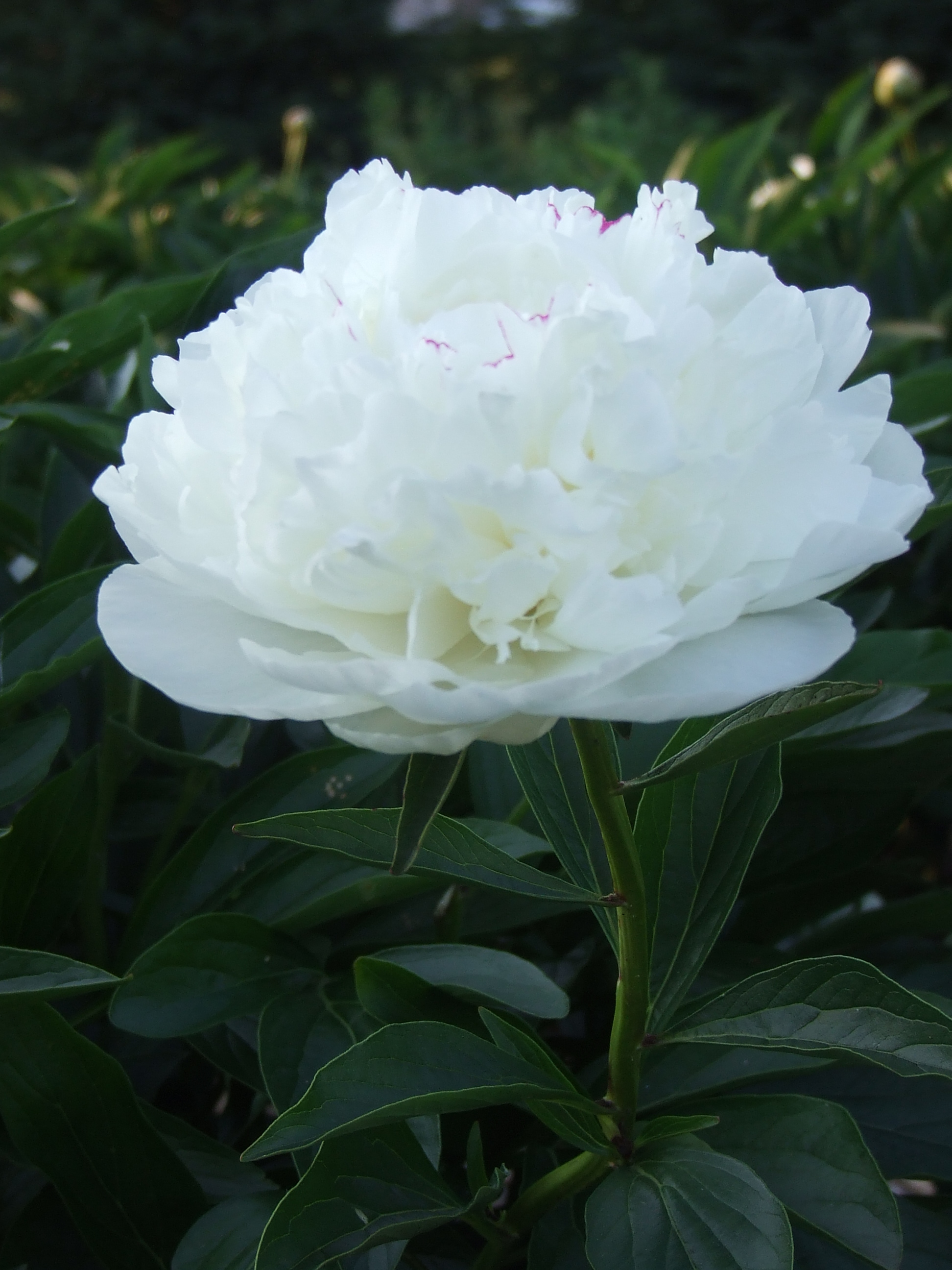 this bright pink peony is one that we imported from china several years ago this year it producted the most beautiful peony flowers - How To Cut Peonies