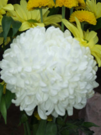 White Football Mum Closeup as well Fb D D Ad C Ad Aa A Shop Apron Restaurant Uniforms together with Ff A Ee F B A A Billy Ball Boutonniere Boutonnieres in addition Img additionally Painting Plastic Flower Pots. on flower designs